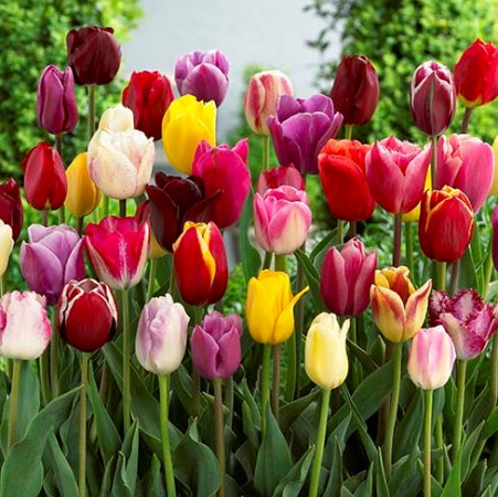 Tulipa (any Triumph Group variety)