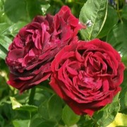 (06/09/2018) Rosa 'Fisher and Holmes' added by Shoot)
