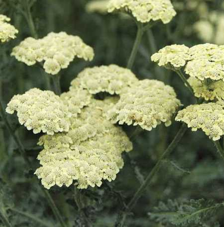Achillea 'Moon Dust'
