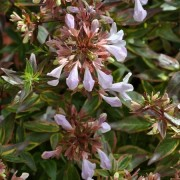 (13/09/2018) Abelia x grandiflora 'Sarabande' added by Shoot)