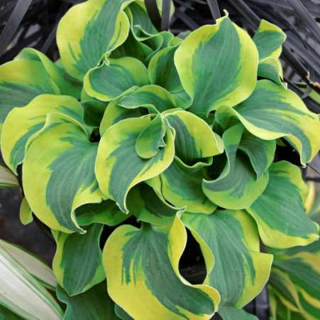 Hosta 'School Mouse'