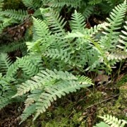 (24/09/2018) Polypodium virginianum added by Shoot)