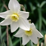 (02/10/2018) Narcissus 'White Lady' added by Shoot)
