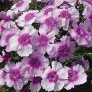 (08/10/2018) Dianthus 'Diana Lavender Picotee' added by Shoot)