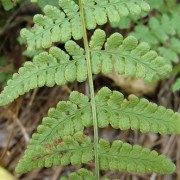 (10/10/2018) Woodsia obtusa added by Shoot)