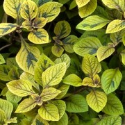 (10/10/2018) Plectranthus ciliatus 'Easy Gold' added by Shoot)