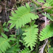 (11/10/2018) Polypodium polypodioides added by Shoot)