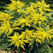(15/10/2018) Solidago 'Laurin' added by Shoot)