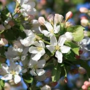 (19/10/2018) Malus baccata 'Street Parade' added by Shoot)