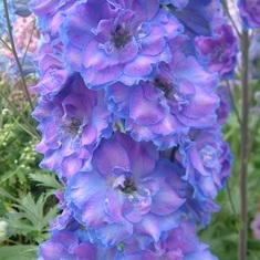 Delphinium 'Can-Can'