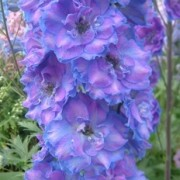 (20/10/2018) Delphinium 'Can-Can' added by Shoot)
