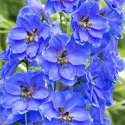 (20/10/2018) Delphinium 'Fenella' added by Shoot)