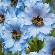 (21/10/2018) Delphinium 'Raymond Lister' added by Shoot)