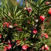 (25/10/2018) Taxus x media 'Hicksii' added by Shoot)