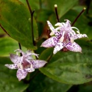(30/10/2018) Tricyrtis formosana 'Shelley's' added by Shoot)