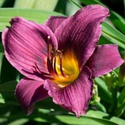 (31/10/2018) Hemerocallis 'Purple Rain' added by Shoot)