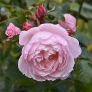(15/12/2017) Rosa 'The Generous Gardener' added by Shoot)
