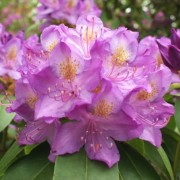 (09/11/2018) Rhododendron 'Purpureum Grandiflorum' added by Shoot)