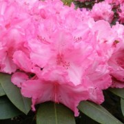 (09/11/2018) Rhododendron 'Walkure' added by Shoot)