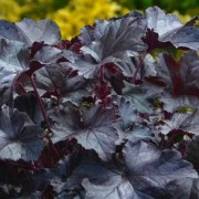 (13/11/2018) Heuchera 'Black Pearl' added by Shoot)