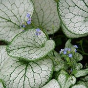 (14/11/2018) Brunnera macrophylla 'Silver Spear' added by Shoot)