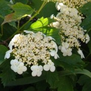 Viburnum Opulus 'Compactum', June 2013 Added by Candy Blackham