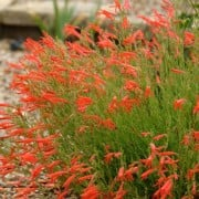 (12/12/2018) Penstemon pinifolius 'Wisley Flame' added by Shoot)