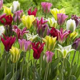 Tulipa (any Viridiflora Group tulip)