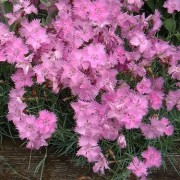 (20/12/2018) Dianthus 'Janet Walker' added by Shoot)