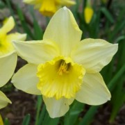 (05/01/2019) Narcissus 'Binkie' added by Shoot)