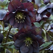 (06/01/2019) Helleborus x hybridus 'Double Slate' (Winter Jewels Series) added by Shoot)
