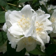(11/01/2019) Philadelphus x virginalis  added by Shoot)