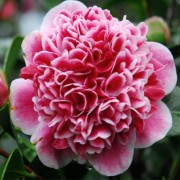(12/01/2019) Camellia japonica 'Volunteer' added by Shoot)