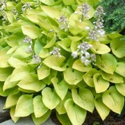 (12/01/2019) Hosta 'Golden Prayers' (tokudama) added by Shoot)