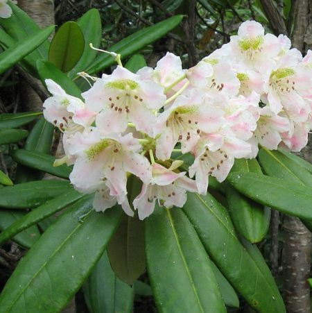 Rhododendron fauriei