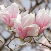 (29/01/2019) Magnolia x soulangiana 'Lilliputian' added by Shoot)