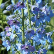 (31/01/2019) Delphinium 'Zauberflote' added by Shoot)
