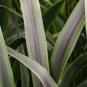 (31/01/2019) Phormium 'Liquorice and Lime' added by Shoot)