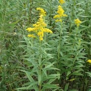 (07/02/2019) Solidago altissima added by Shoot)