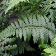 (07/02/2019) Dryopteris ludoviciana added by Shoot)