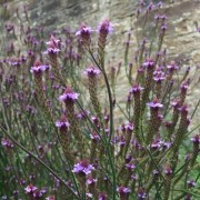 (07/02/2019) Verbena macdougalii 'Lavender Spires' added by Shoot)