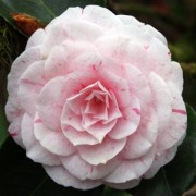 (13/02/2019) Camellia japonica 'William Bartlett' added by Shoot)