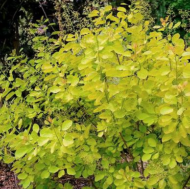 Cotinus coggygria 'Golden Lady'