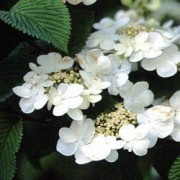 (14/02/2019) Viburnum plicatum f. tomentosum 'Tennessee' added by Shoot)