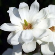 (14/02/2019) Magnolia denudata 'Double Diamond' added by Shoot)