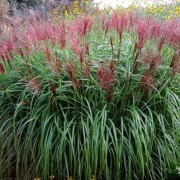 (15/02/2019) Miscanthus sinensis 'Roterpfeil' added by Shoot)