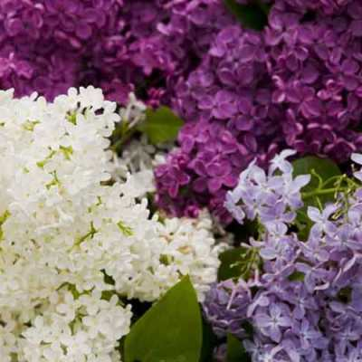 Syringa vulgaris (any variety)