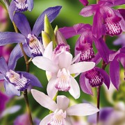 (19/02/2019) Bletilla striata (any variety) added by Shoot)