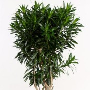 (19/02/2019) Dracaena reflexa added by Shoot)