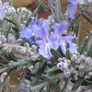 (19/02/2019) Rosmarinus officinalis (Prostratus Group) 'Whitewater Silver' added by Shoot)